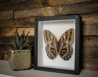 Caligo memnon // owl butterfly // back // insect museum box //  shadowbox