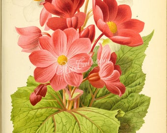 flowers-28254 - Begonia red pink white color bouquet hybrids digital illustration picture image antique book page paper clipart graphics jpg