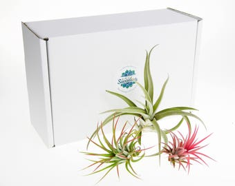 Air Plant Trio Selection | Air Plants Plants for Terrariums | Indoor Air Plants | Plants in Gift Box