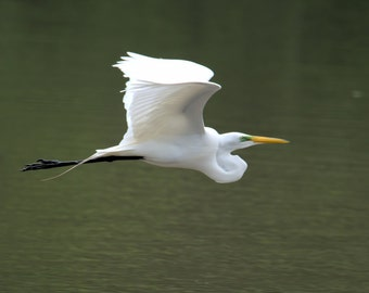24x36 Canvas Print of Great Egret with Mating Plumage in Flight