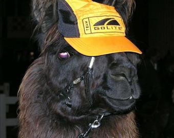 Sponsor A Llama!  Duque- CSA, Farm, Fiber, Natural - Insoles, Nesting Ball