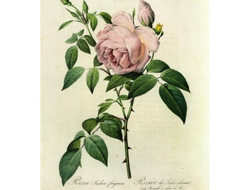 Redoute Pink Roses Print Book Plate SALE Buy 3, get 1 Free