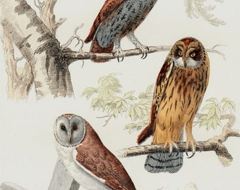 1839 Antique OWL print, vintage owl print, owl illustration, hand colored ornithology print