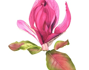 Magnolia print of watercolor painting, A3 size print. M18317. Magnolia watercolour painting print, magnolia watercolor, botanical print