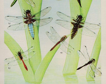 Antique print. DRAGONFLIES 7 Colored lithograph 57 years old print. Antique beetle insect print plate.6 x 4.25 inches, 15x10.75cm