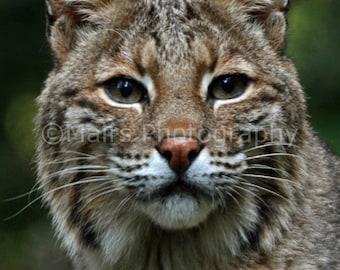 Nursery Decor, Bobcat Feline Lynx Cat, Nature Photography, Animal Photography, Fine Art Photography matted & signed 5x7 Original Photograph
