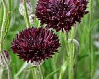 ABB) BLACK MAGIC Bachelor Button~Seeds!!!!~~~~~~~~What a Stunner!