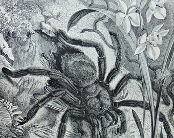 The pinktoe tarantula print. Natural history engraving. Antique illustration 127 years old. 1890 lithograph. 9 x 12'3 inches.