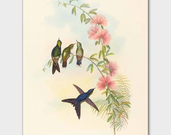 "Hummingbird Art, John Gould Botanical Bird Print (Natural History Artwork, Cottage Home Decor) ""Small-Billed Thornbill"""