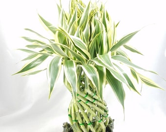 Pineapple Braided Live Bamboo Plant In Frog Chinese Vase
