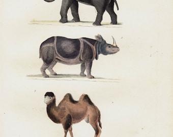 1839 Antique ANIMAL print, elephant print, rhinoceros print, camel print, vintage animal prints. Scientific animal illustration
