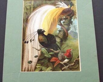 Antique Birds of Paradise rint