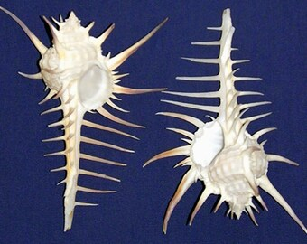 "Murex Pecten Negros~Black Tip Shell 4""~Craft/Supply Seashells~Select 1/2/3 Pcs. ~ FREE SHIPPING ~"