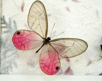 Real Framed Butterfly - Pink Glasswing - Cithaerias aurorina