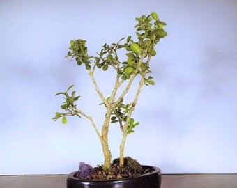 Double Boxwood Bonsai with purple amethyst in a Onyx clay pot. A stricking pair with stylish branches.