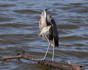 great blue heron, photo, birds, bird photography, wildlife photography, wall art, home decor, free shipping, fish, nature photography