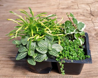 Terrarium & Shade Plant Assortment, Variegated for Miniature Garden, Fairy Garden