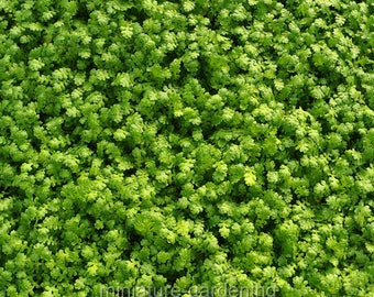 Leptinella gruveri, Fairy Fern for Miniature Garden, Fairy Garden