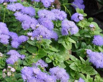 Ageratum, Hawaii Blue, Floss Flower for Miniature Garden, Fairy Garden