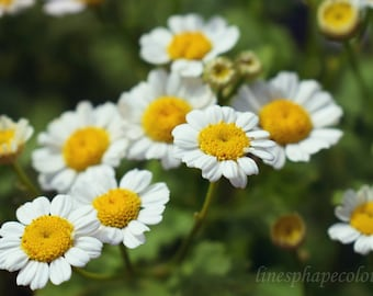 White and yellow flowers, bed of daisies - Nature photography print