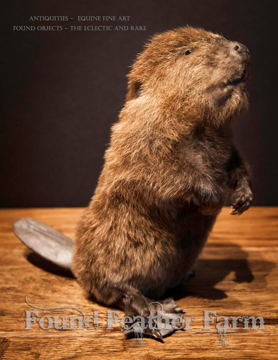 A Precious Vintage Baby Beaver Taxidermy Mount