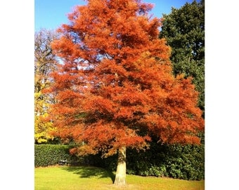 """Dawn Redwood, 3 Plants 18'-28"""" Tall, 4"""" Potted Plugs, Landscaping, Healthy Plants, Fast Growing, Low Maintenance, Shade Tree, Full Sun"""