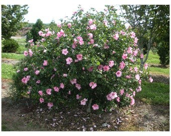 Pink Rose of Sharon, Pink Althea, 1 Gallon Potted Plant, Pink Blooms, Deciduous, Hardy, Sun Tolerant, Hedge, Shrub, Hibiscus, Hummingbirds