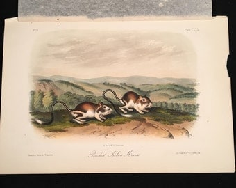 Pouched Jerboa Mouse, Plate CXXX, Original Hand-Colored Stone Lithograph from Audubon's Quadrupeds of North America