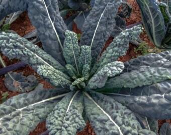 Pack of 50  Non-GMO organic Lacinato Kale seeds.