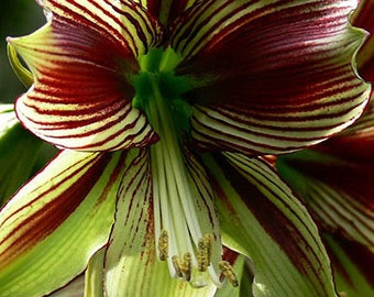Amaryllis Bulbs, Hippeastrum Bulbs, 3-5 cm in diameter, 2 Bulbs (item no: 3)