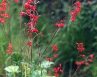 Heuchera Firefly Seeds (75+ Seeds)
