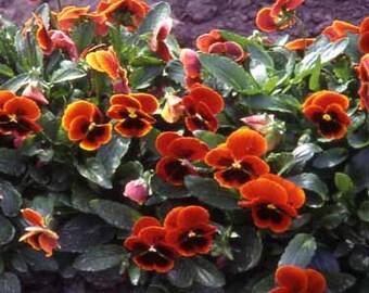 Arkwright Ruby Viola Flower Seeds/Cornuta/Perennial    35+