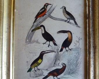 Framed Bird Print, Toucan Bird Family, Ornithological Print,  Wall Decor, Vintage French 04170203-106