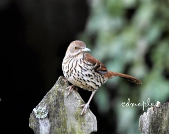 Brown Thrasher Bird Photo, Wildlife Print, Wildlife Photography, Wild Bird Photo