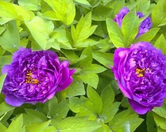 Rare Light Purple Fragrant Peony Seeds 5 seeds pack garden flower