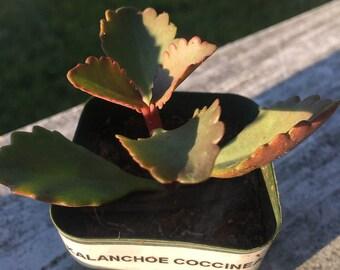 """Kalanchoe Coccinea Succulent Plant in 2"""" Planter- Succulents- Cactus Plants- Live Plants"""