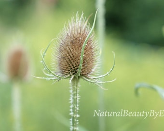 nature photography, outdoor, landscape photography, teasel plant, weed, late summer, wall art, fine art, nature, print
