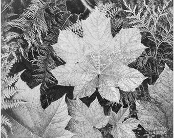 Ansel Adams Fine Art Photography, From the series Ansel Adams Photographs of National Parks  Close-up of leaves, Glacier National Park