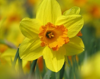 Daffodils Wildlife Photography Card