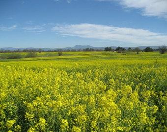 1000 YELLOW MUSTARD Brassica Juncea Vegetable Herb Seeds