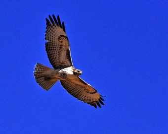 Western Photography SD > Hawk of the Southwest Birds Wildlife Outdoors Sporting