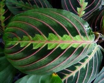 Maranata 'Prayer Plant' 4 inch pot- Very nice, Healthy Plant!!