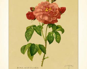 BOTANICAL PRINT - Rose