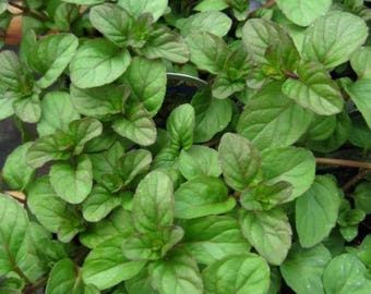 Two 2 Live Plants Orange Mint Plant NON-GMO Each 4 Inch To 7 Inch Tall In 3.5 Inch Pots Family Run Business Since 1957