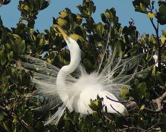 Great Egret in Breeding Plumage #1 - 11x14