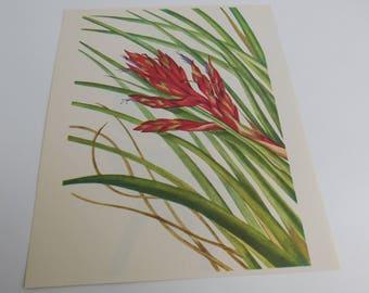 Vintage Botanical Print- Tillandsia & Pickerel Weed 8x10