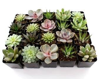 "Flat of (20) 2.25"" Bulk Succulents Mixed Varieties - Succulent Plants, Indoor Plants, Cacti, Waterless Plants, Succulent Wedding Favors"