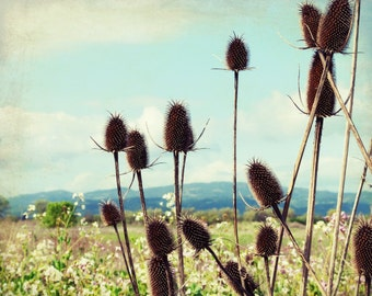"Landscape Photography | Flower Meadow | Sonoma County |  Aqua Blue Sky | Rustic Wall Art |  ""Winter Teasel and Spring Flowers"""