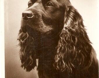 Vintage Dog vintage English postcard - Real Rotograph post card, RPPC Spaniel, dog portrait