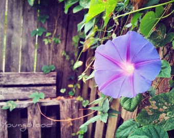 Photograph: Violet Flower Against Rustic Wooden Fence Nature Photo 4x6 print